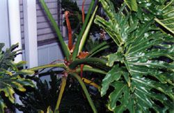 PHILODENDRON SHEATHS - 1 doz.